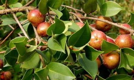 油茶树.jpg